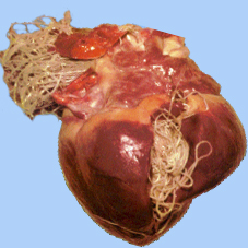 heart worms